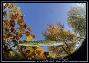 Young pike fish - Autumn atmosphere. by Michel Lonfat