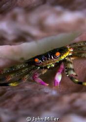 Crab amongst coral - Tulamben - Bali by John Miller