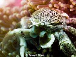 Porcelain Crab Close Up by Daniel Sasse
