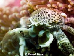 Porcelain Crab Close Up by Daniel Sasse