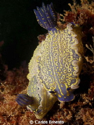 Hypselodoris picta by Carlos Ernesto