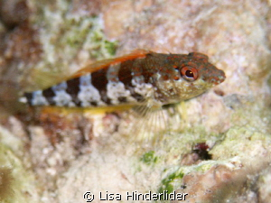 Saddle Blenny-Bari Reef by Lisa Hinderlider