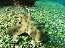 Small horn shark taken freediving, 15' deep, Canon S95.  ... by Eric Addicott