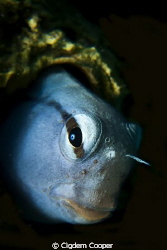 Red Sea Mimic Blenny. Canon G10 with Ikelite Housing, Ik... by Cigdem Cooper