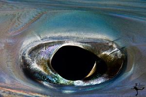 Eye of a cornet-fish by Rico Besserdich