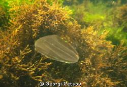 Ctenophora Beroe ovata - unrequested new inhabitant in Bl... by Georgi Petsov