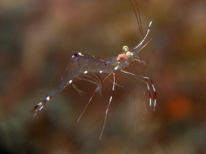 Cleaner shrimp. Tulamben, Bali by Doug Anderson