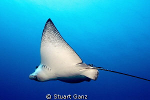 Spotted Eagle ray swimming past me. by Stuart Ganz
