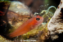 Pygmy goby. by Sean Cooper