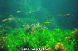 Green, green plants of my Black Sea by Georgi Petsov