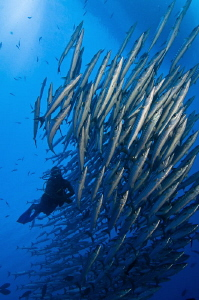 Diveguide Digger Schooling with Barracuda by Tony Cherbas