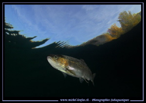 Face to face with a Trout... ;O)... by Michel Lonfat