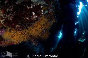 Gorgonians in cave by Pietro Cremone