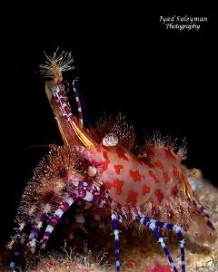 """Exotic king""  Marble Shrimp by Iyad Suleyman"