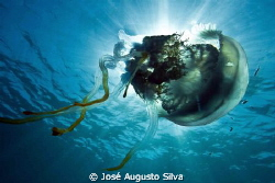 jellyfish, nikon D700, 17-35mmNikon zoom lens by José Augusto Silva