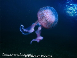 jellyfish Noctiluca pelagia by Francesco Pacienza
