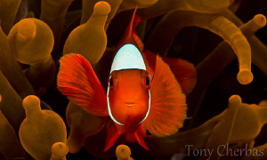 Red Dance by Tony Cherbas