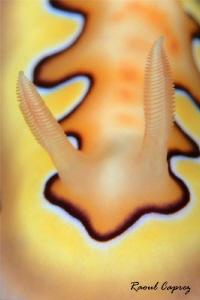 Chromodoris by Raoul Caprez