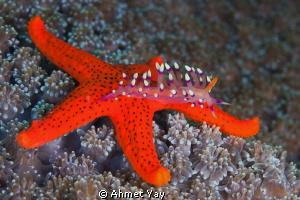 Nudi, top on the sea star... by Ahmet Yay