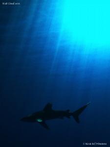 Longimanus shark. by Stéphane Primatesta