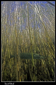 Pike in the reeds :-D by Daniel Strub