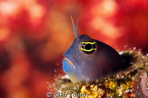 Blenny by Gleb Tolstov