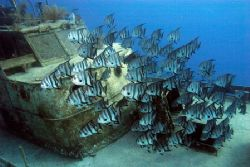 Spadefish schooling around David Tucker Wreck in New Prov... by Sally Thomson