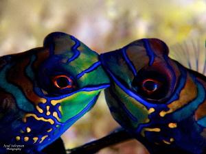 Mandarinfishe... by Iyad Suleyman