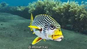 Sweetlips... by Ahmet Yay