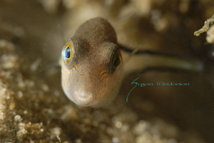 Sharpnose puffer shot with the 10x while swimming! by Suzan Meldonian
