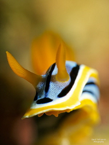 Chromodoris annae by Iyad Suleyman