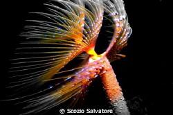 anellide polichete by Scozio Salvatore