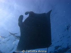 Manta Ray by Carlotta Arona