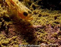 Two-spotted Goby (Gobiusculus flavescens) by Paal Mathiesen