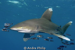 Close-up-Meeting with a longimanus (Oceanic Whitetip Shark) by Andre Philip