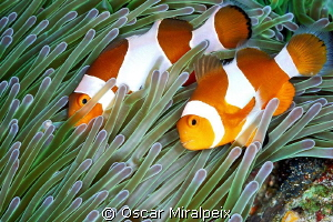 Couple of clownfishes