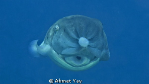 A different point of view. Cuttle fish when carrying its ... by Ahmet Yay