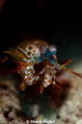Mantis shrimp by Sharon English