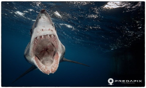 Scream - Paris the Short Fin Mako taken at North Neptune ... by Sam Cahir