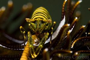 Crinoid Shrimp by Tony Cherbas