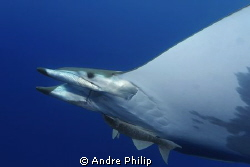 eyecontact with a mobula ray by Andre Philip