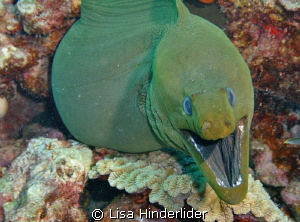 Green Morays are a favorite! They look scarier than they ... by Lisa Hinderlider