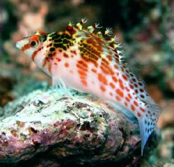 The Hawkfish should probably be called the English Sparro... by Jan Messersmith