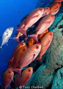 School of Red Pinjalo Snapper by Tony Cherbas