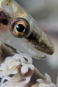 Whip Goby eye  Taken with +17 wet diopter by Iyad Suleyman