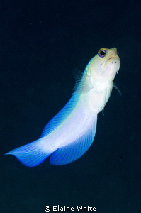 Yellowhead Jawfish by Elaine White
