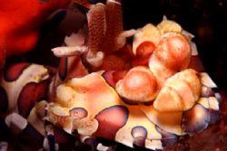 Harlequin shrimp by Michel De Ruyck