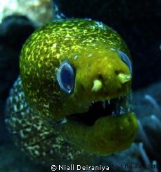 Very close up wide angle shot of a very green faced moray... by Niall Deiraniya