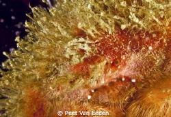 The face of a shaggy sponge crab by Peet Van Eeden
