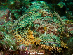 A very green colored Tasseled Scorpion Fish by Daniel Sasse